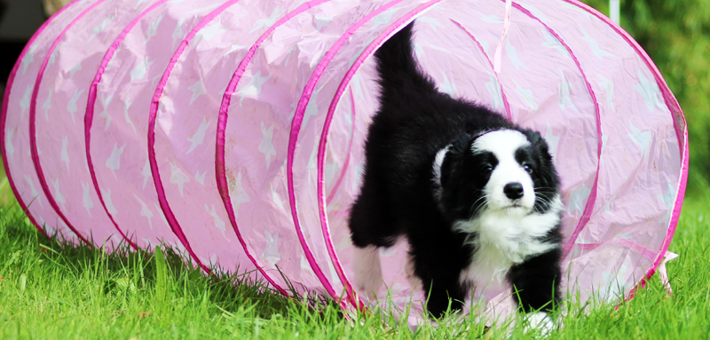 border collie welpe tunnel